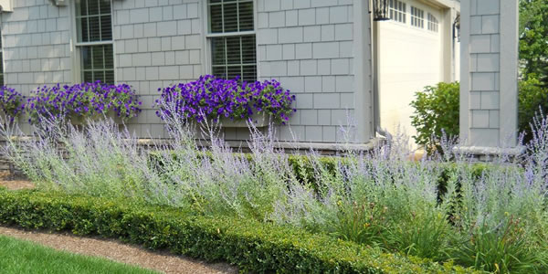Boxwood with Russian Sage